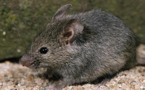 世上最可爱的老鼠